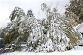 Tree damaged by snow
